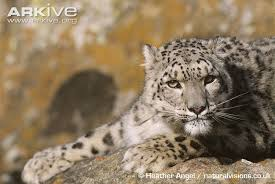 The downlisting of the snow leopard (Panthera uncia) from Endangered to Vulnerable in 2017 was heavily resisted.