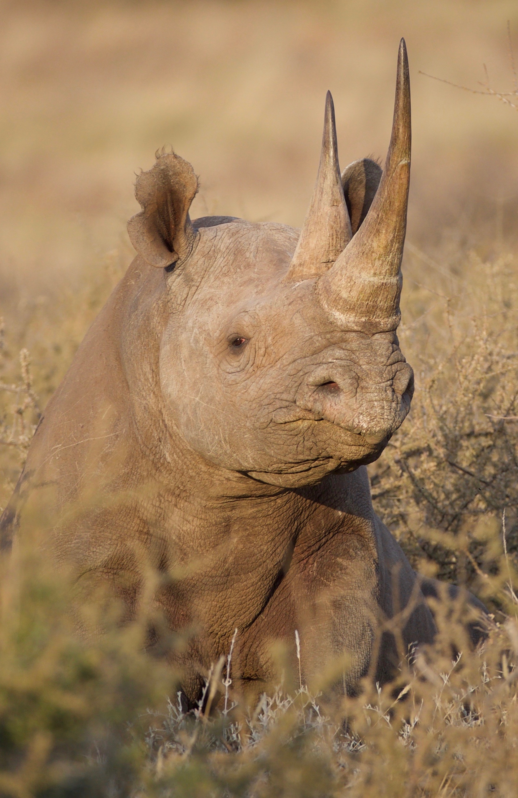 A black rhino with an intact horn