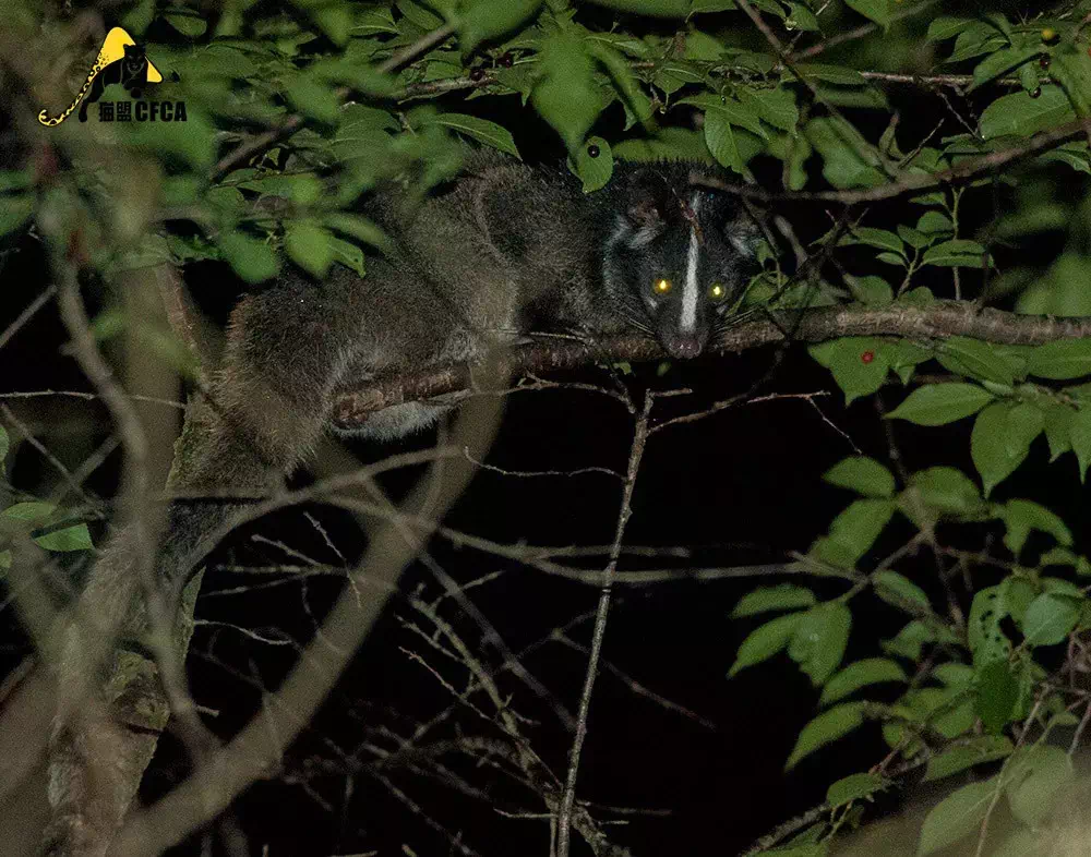 A wild civet. Photo credit to Chinese Felid Conservation Alliance