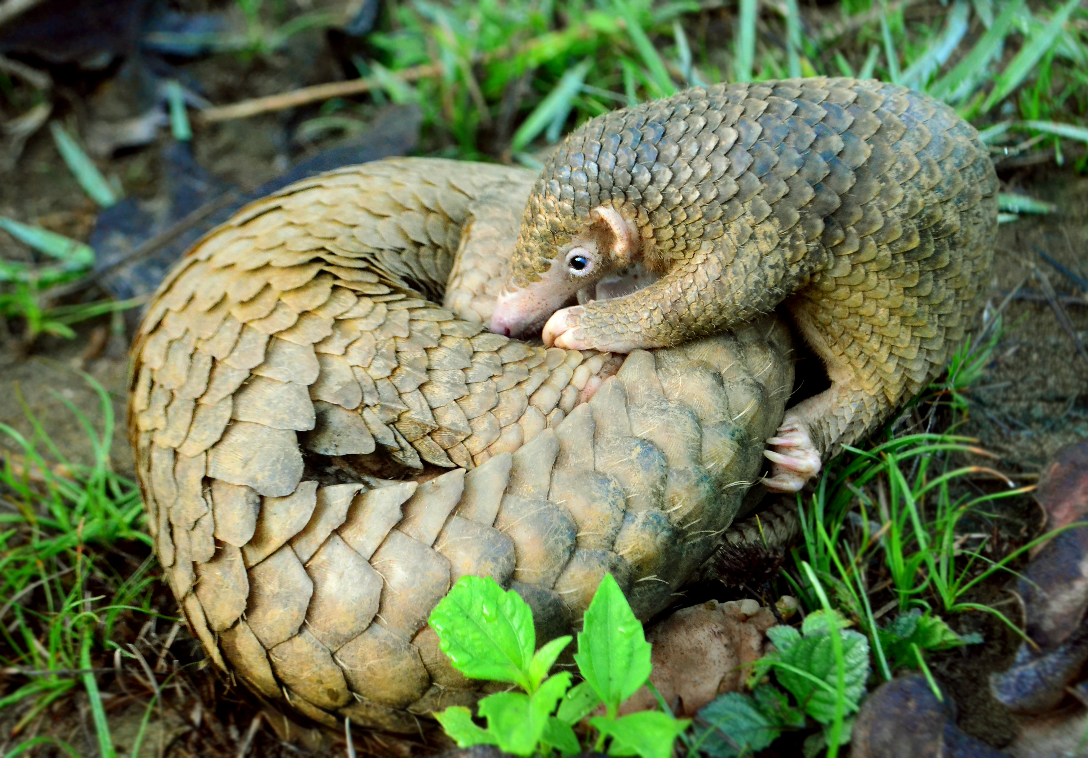 Using pangolin scales is still legal in China. Photo credit: Gregg Yan, wikimedia commons
