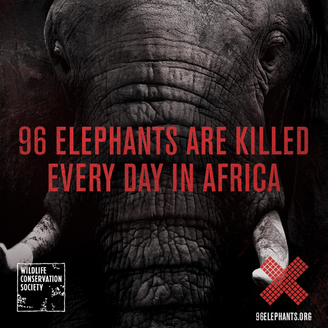 The World Conservation Society 96 Elephants campaign – an example of conservation impact in action