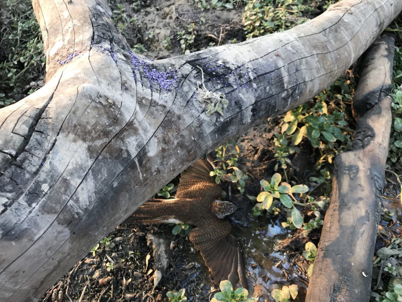 Figure 2: a poisoned waterhole with a dead plaintive cuckoo. The purple carbofuran pesticide is visible on the tree trunk.