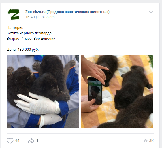 A listing for one-month old, female 'black leopard' kittens posted to a Russian online marketplace. Photo Credit: Zoo-ekzo
